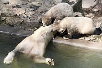 Rodinka ledních medvědů v brněnské zoologické zahradě.