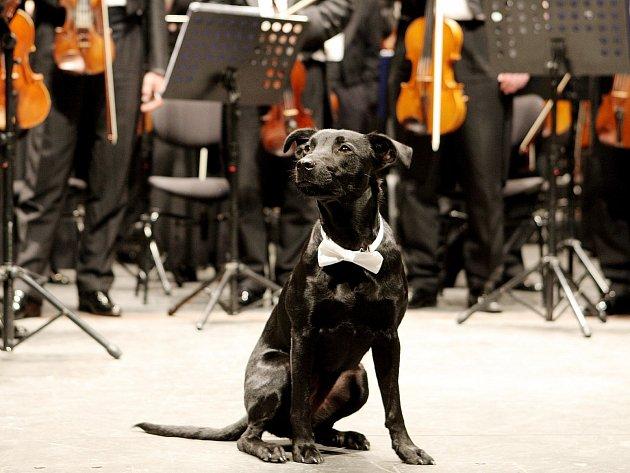 Fenka černé barvy jménem Londi se stala hledaným dvojníkem psa Lumíra, jehož snímky zdobí plakáty Filharmonie Brno. A ve čtvrtek večer se vyfotila spolu s orchestrem v Janáčkově divadle.