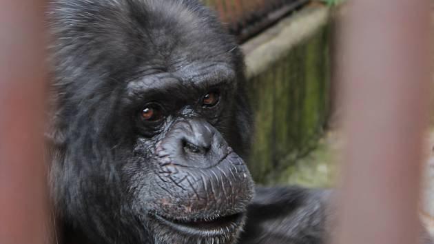 Tři šimpanzi v brněnské zoo oslavili svůj světový den speciálním komentovaným krmením.