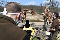 Brno 4.4.2020 - komentované krmení žiraf síťovaných v brněnské zoologické zahradě