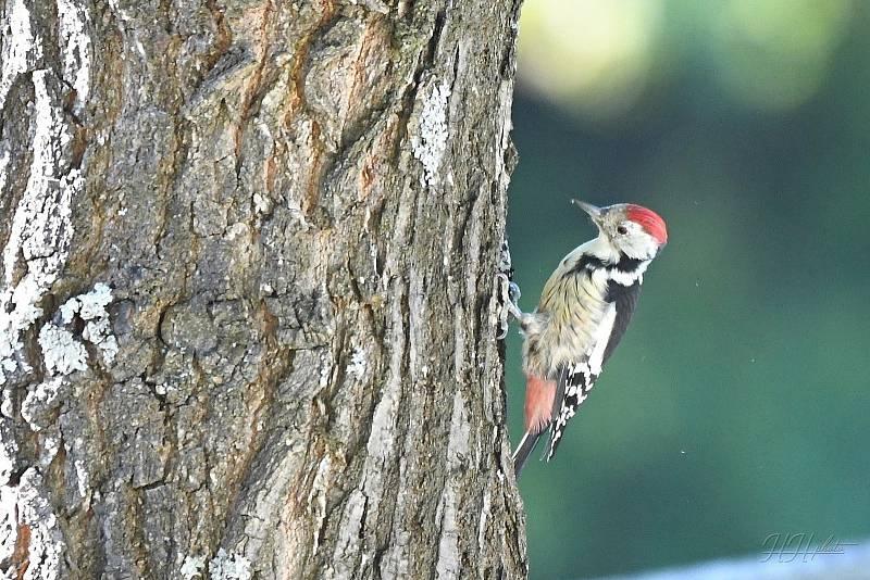 Zachycení ptáků v přírodě je pokaždé plné překvapení. Na snímku je strakapoud prostřední.