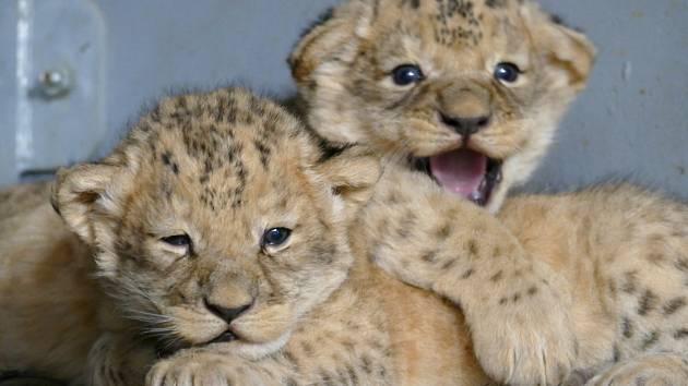 Mláďata levhartů a lvů v brněnské zoo.