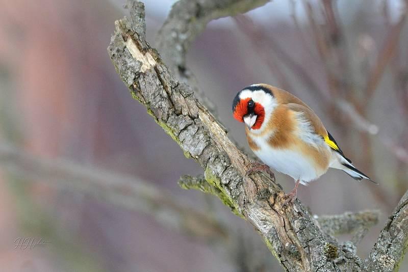 Zachycení ptáků v přírodě je pokaždé plné překvapení. Na snímku je stehlík obecný.