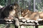 Lvice Kivu a lev Lolek v brněnské ZOO