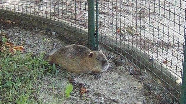 Děti na pískovišti zpoza plotu pozorovala nutrie. Skončila v záchranné stanici