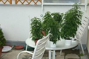 Policisté objevili v bytě na sídlišti Lesná jednapadesát kytek marihuany.