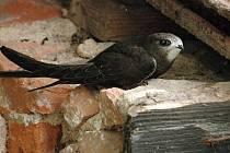 Rorýs obecný je chráněný druh, který rád hnízdí na stavbách v blízkosti lidí. Opravy fasád v Brně-severu se kvůli nim zpomalují a prodražují.
