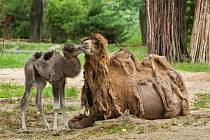 V brněnské zoo se rozrostla stáda. Narodila se mláďata velblouda a bizona.