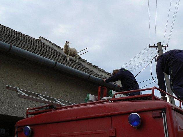 OVCE NA STŘEŠE. Dolnokouničtí hasiči zachraňovali také ovci, která utekla majiteli na střechu jeho rodinného domu.