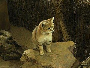 Za kočkami do brněnské zoo přicestovali dva kocouří ženiši