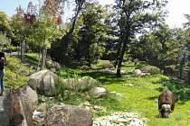 V brněnské zoo zřejmě příští rok vznikne expozice pižmoňů. Bude součástí celku Beringie.