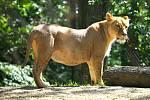 V noci na 30. prosince porodila samice lva konžského Kivu dvě mláďata v brněnské zoo. Spářila se se samcem Lolkem.