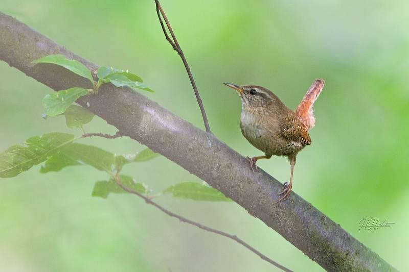 Zachycení ptáků v přírodě je pokaždé plné překvapení. Na snímku je střízlík obecný.