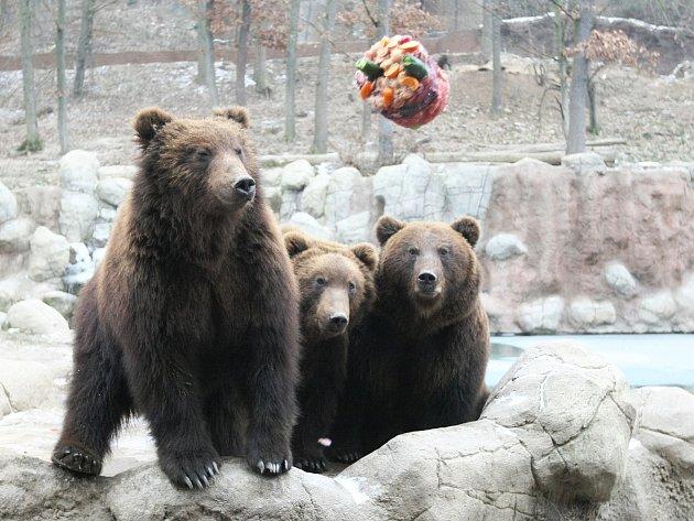 Poslední dny tráví v Brně kamčatská dvojčata Toby a Kuba. Chovatelé jim je zpříjemní narozeninovou oslavou. V sobotu totiž bratři oslaví dva roky.