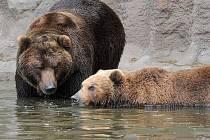 Medvědice Kamčatka a samec Jelizar (vlevo) z brněnské zoologické zahrady.