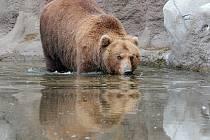 Medvědice Kamčatka z brněnské zoologické zahrady.