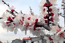 Kvetoucí meruňka. Ilustrační foto.