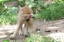 Mládě vlka arktického v brněnské zoo.