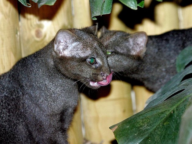 Jaguarundi. Nový druh zvířete v brněnské zoo.