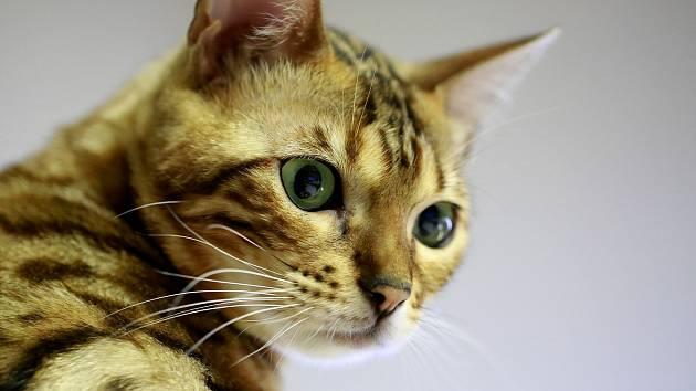 Kočka bengálská. Ilustrační foto.