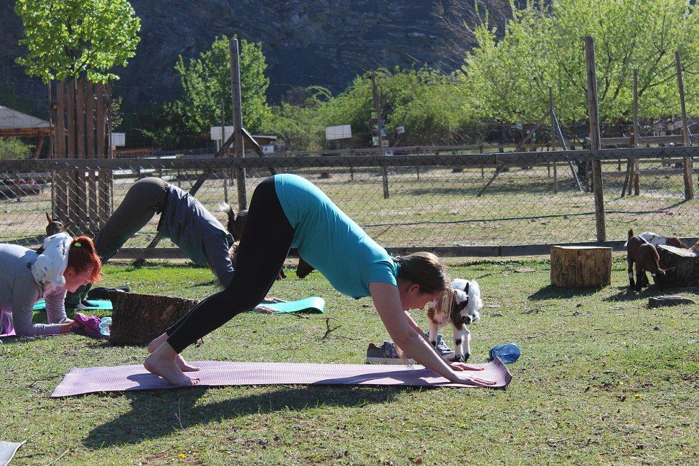 V bývalém lomu lidé cvičili jógu s kůzlaty.
