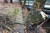 Povodí Moravy vybralo přes čtyřicet stromů, které byly nějakým způsobem nebezpečné. Některé z nich, jako topoly u Intersparu na Cejlu, museli dělníci pokácet.