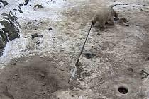 Medvídě spadlo do díry v ledu. Ostražitá matka ho ihned vytáhla.