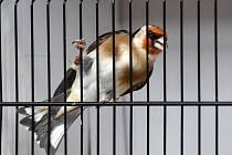 Na čtyři sta padesát drobných kanárků bylo o víkendu k vidění v brněnských Kníničkách. V tělocvičně tamní mateřské školy se sešli jejich chovatelé, aby mezi sebou soutěžili, kdo z nich se o ptactvo stará nejlépe.