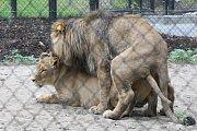 Zásnuby nových lvů v Brně? Seznamování Lolka a Kivu v brněnské zoo dopadlo podle chovatelů úspěšně.