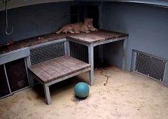 Narození lvíčat v brněnské zoo ze dne 29. prosince 2017. Matkou je lvice Kivu.