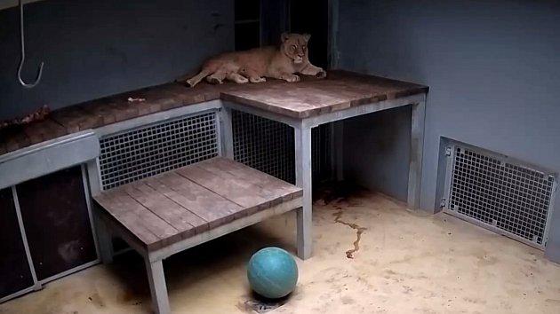 Řev a opatrné oslavy v brněnské zoo. Lvice Kivu porodila dvě mláďata