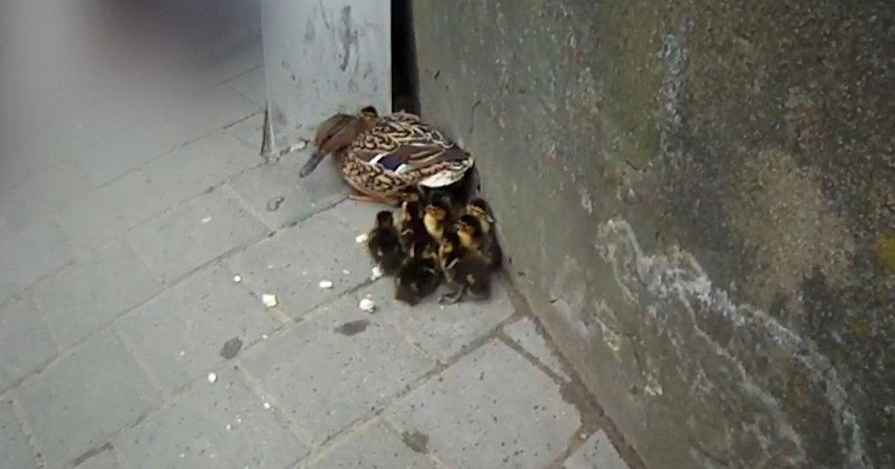 V zajetí velkoměsta se ve čtvrtek odpoledne ocitla kachna s několika mláďaty.