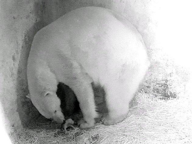 Lední medvědice Cora z brněnské zoologické zahrady porodila o víkendu jedno mládě.