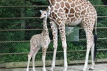 Chovatelé jsou optimističtí i v případě třítýdenní žirafí samice, která po narození nemohla téměř chodit.