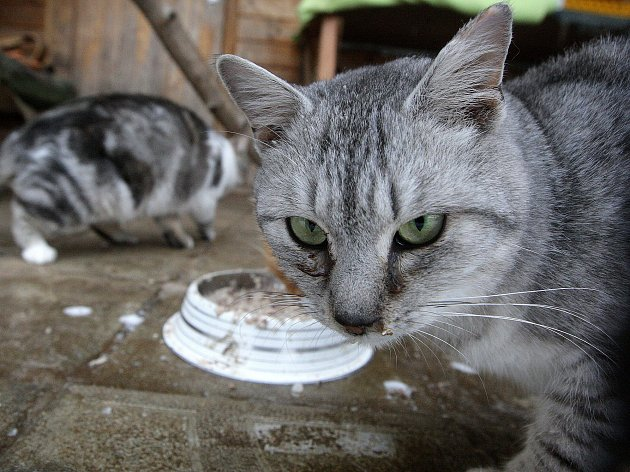 Za zdmi řadového domu v Holubicích na Vyškovsku sídlí útulek Kočičí oáza. Zde se dobrovolníci pod vedením Ireny Novotné starají o více než 250 koček, díky čemuž patří mezi největší útulky pro kočky v kraji. Po Vánocích hlásí plno.