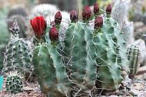 Stovky různých kaktusů s květy i bez nich mohli návštěvníci shlédnout v sobotu v areálu Zahradního centra Čtyřlístek v brněnské Bystrci.