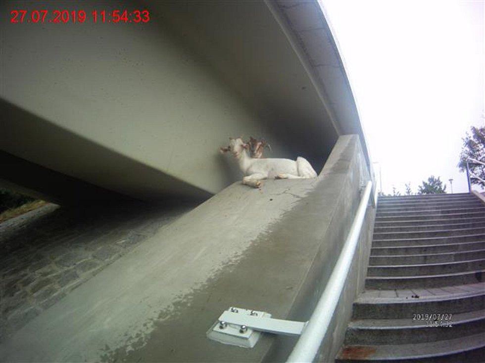 Strážníci znovu odchytávali kozy v Líšni, lezly po mostě a pásly se u tramvajové trati.