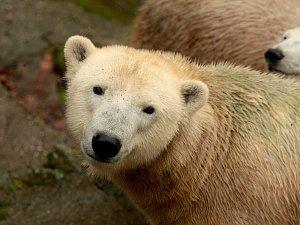 Medvědice Noria.