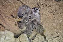 Nové surikaty v brněnské zoo.