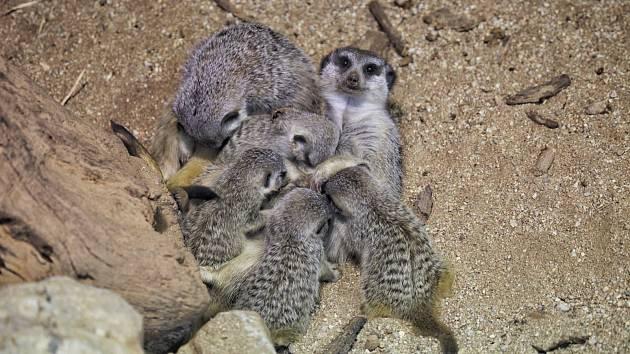 V zoo vyrůstá čtveřice mláďat surikat. Už je mohou vidět i návštěvníci