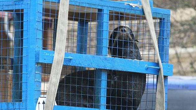 Noví lachtani se už zabydleli v brněnské zoologické zahradě.