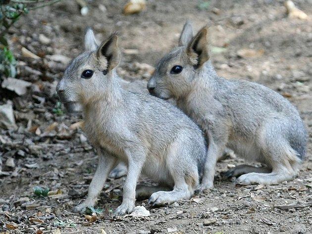 V brněnské zoo přivítali nové přírůstky mary stepní.