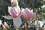 Jaro je tu a v plné kráse se předvádějí sedmikrásky, violky, magnolie i další květiny.