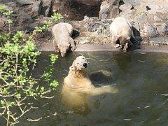 Rodinka ledních medvědů v brněnské zoologické zahradě