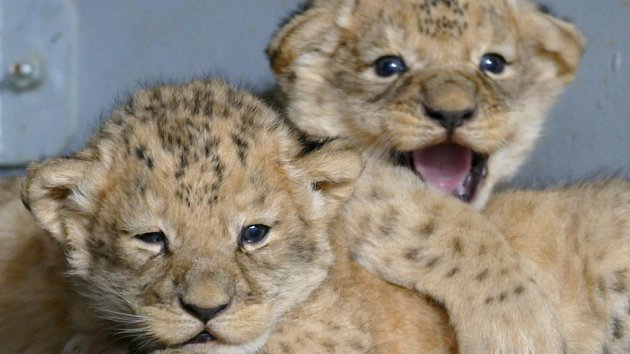 Brněnská lvíčata se mají k světu