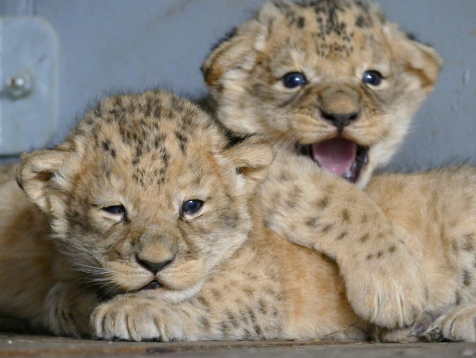 První záběry lvích mláďat z brněnské ZOO.