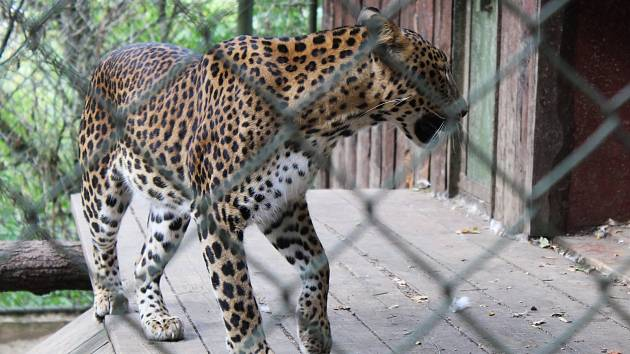 Levhart v brněnské zoo.