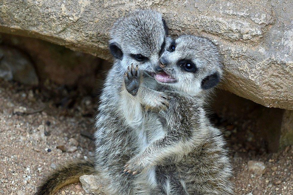 Mláďata surikat v Zoo Brno.