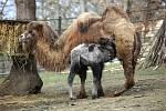 Přímo před zraky návštěvníků brněnské zoo přišla na svět malá velbloudice.