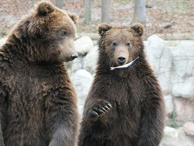 Medvíďata Kuba a Toby v brněnské zoo.